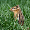 Delmar NY Backyard Chipmunk 1 May 2020