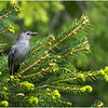 Delmar NY Backyard Gray Catbird 5 May 2020
