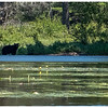 Adirondacks Bog River 2 Black Bear August 2020