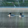 Adirondacks Lake Kushaqua Loons 1 August 2020
