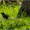 New York Delmar Backyard Grackle 1 May2020