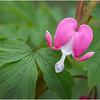 New York Delmar Bleeding Heart 3 May2020