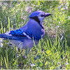 New York Blue Jay 1 May2020
