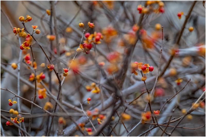 New York Waterford Peebles Island Berries 1 November 2020