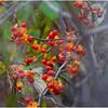 New York Waterford Peebles Island Berries 2 November 2020
