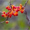 New York Waterford Peebles Island Berries 3 November 2020