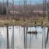 Voorheesville NY Black Creek Marsh 5 April 2020