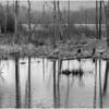 Voorheesville NY Black Creek Marsh BW 5 April 2020