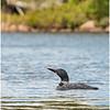 Adirondacks Forked Lake Loon 7 September 2020