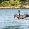 Adirondacks Forked Lake Loon 4 September 2020