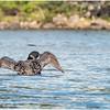 Adirondacks Forked Lake Loon 5 September 2020