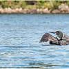 Adirondacks Forked Lake Loon 2 September 2020