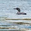 Adirondacks Forked Lake Loon 8 September 2020