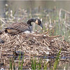 New York Clifton Park Vischers Ferry Preserve Spring Canada Goose 2 April 2021