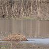 New York Clifton Park Vischers Ferry Preserve Spring Canada Goose 6 April 2021