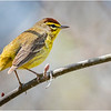 New York Clifton Park Vischers Ferry Preserve Spring Palm Warbler 6 Male April 2021
