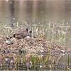 New York Clifton Park Vischers Ferry Preserve Spring Canada Goose 1 April 2021