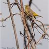 New York Clifton Park Vischers Ferry Preserve Spring Palm Warbler 1 Female April 2021