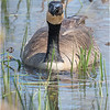 New York Clifton Park Vischers Ferry Preserve Spring Canada Goose 4 April 2021