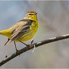 New York Clifton Park Vischers Ferry Preserve Spring Palm Warbler 5 Male April 2021