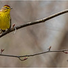 New York Clifton Park Vischers Ferry Preserve Spring Palm Warbler 3 Male April 2021