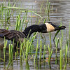 New York Clifton Park Vischers Ferry Preserve Spring Canada Goose 5 April 2021