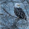 New York Cohoes Falls Eagle 14 February 2021