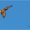New York Cohoes Falls REd Tailed Hawk 2 February 2021