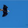 New York Cohoes Falls Eagle 5 February 2021