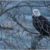 New York Cohoes Falls Eagle 15 February 2021