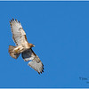 New York Cohoes Falls REd Tailed Hawk 6 February 2021