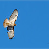 New York Cohoes Falls Red Tailed Hawk 7 February 2021