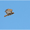 New York Cohoes Falls Red Tailed Hawk 1 February 2021