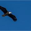 New York Cohoes Falls Eagle 3 February 2021