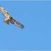 New York Cohoes Falls REd Tailed Hawk 3 February 2021