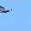 New York Green Island Red Tailed Hawk 1 February 2021