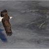New York Cohoes Falls Eagle 12 February 2021