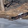 New York Cohoes Falls Eagle 8 February 2021