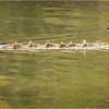 New York Green Island Canada Geese 1 May 2021