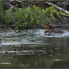Adirondacks Chateaugay Lake Beaver 15 June 2021
