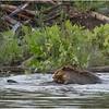 Adirondacks Chateaugay Lake Beaver 17 June 2021
