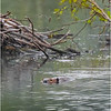 Adirondacks Chateaugay Lake Beaver 6 June 2021