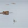 Adirondacks Chateaugay Lake Beaver 8 June 2021