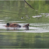 Adirondacks Chateaugay Lake Beaver 9 June 2021