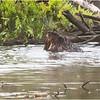 Adirondacks Chateaugay Lake Beaver 13 June 2021