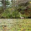 Adirondacks Lake Durant Great Blue Heron 1 August 2021