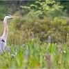 Adirondacks Lake Durant Great Bue Heron 5 August 2021