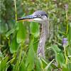 Adirondacks Lake Durant Great Bue Heron 8 August 2021