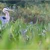 Adirondacks Lake Durant Great Blue Heron 3 August 2021