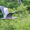 Adirondacks Lake Durant Great Bue Heron 11 August 2021